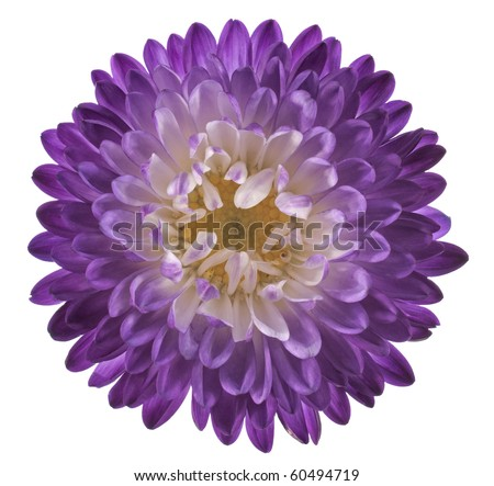 Studio Shot of Violet and Indigo Colored China Aster Isolated on White Background. Large Depth of Field (DOF). Macro. - stock photo