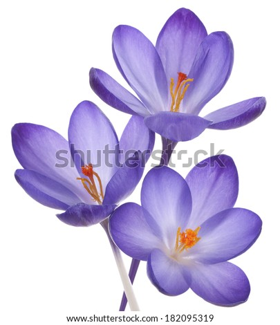 Studio Shot of Violet Colored Crocus Flowers Isolated on White Background. Macro. - stock photo