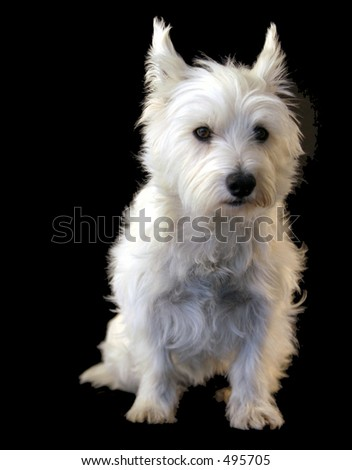 Studio shot of West Highland Terrier against black background - stock photo