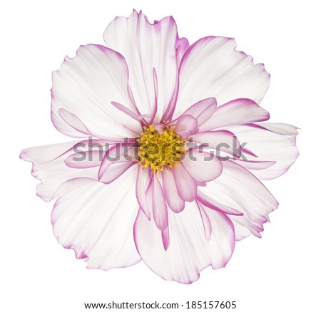 Studio Shot of White and Magenta Colored Cosmos Flower Isolated on White Background. Large Depth of Field (DOF). Macro. - stock photo