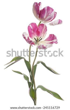 Studio Shot of White and Magenta Colored Tulip Flowers Isolated on White Background. Large Depth of Field (DOF). Macro. National Flower of The Netherlands, Turkey and Hungary. - stock photo