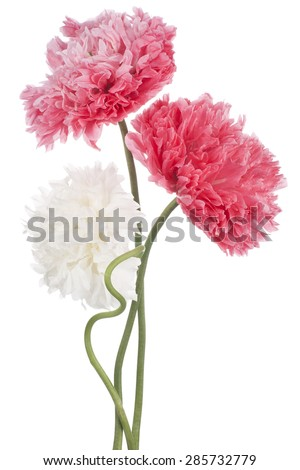 Studio Shot of White and Pink Colored Poppy Flowers Isolated on White Background. Large Depth of Field (DOF). Macro. Symbol of Sleep, Oblivion and Imagination.