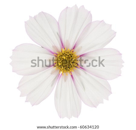 Studio Shot of White and Purple Colored Cosmos Isolated on White Background. Large Depth of Field (DOF). Macro. - stock photo