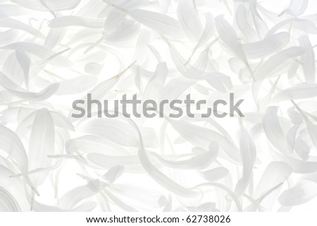 Studio Shot of White Colored China Aster Petals on White Background. Large Depth of Field (DOF). Macro.
