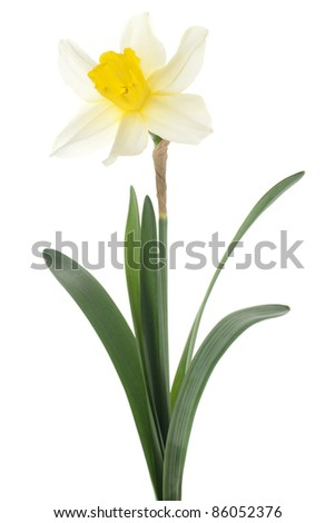 Studio Shot of White Colored Daffodil  Isolated on White Background. Large Depth of Field (DOF). Macro. Symbol of Self-love and Respect.