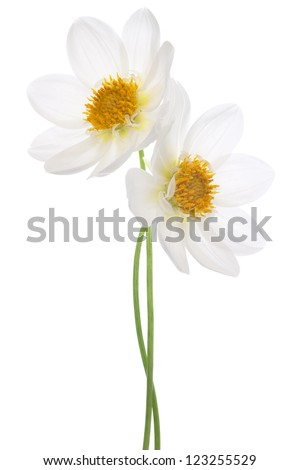 Studio Shot of White Colored Dahlia Flowers Isolated on White Background. Large Depth of Field (DOF). Macro. Symbol of Elegance, Dignity and Good Taste. - stock photo