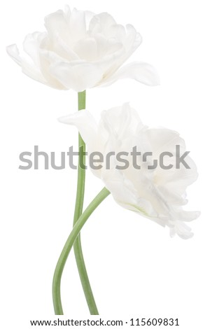 Studio Shot of  White Colored Tulip Flowers Isolated on White Background. Large Depth of Field (DOF). Macro. National Flower of The Netherlands, Turkey and Hungary. - stock photo