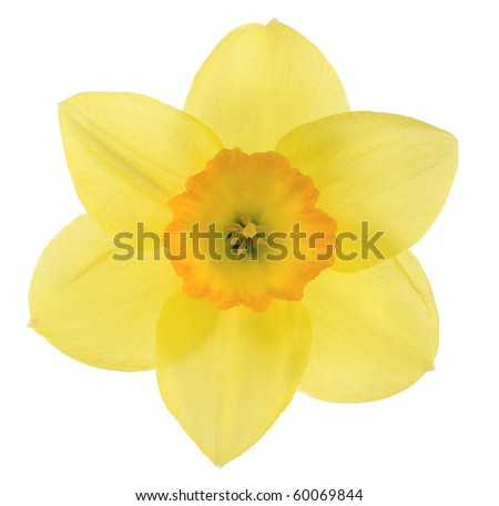 Studio Shot of Yellow and Orange Colored Daffodil Isolated on White Background. Large Depth of Field (DOF). Macro. Symbol of Self-love and Respect. - stock photo