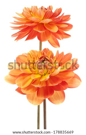 Studio Shot of Yellow and Orange Colored Dahlia Flowers Isolated on White Background. Large Depth of Field (DOF). Macro. Symbol of Elegance, Dignity and Good Taste. - stock photo