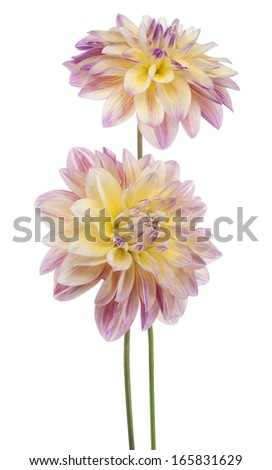 Studio Shot of Yellow and Purple Colored Dahlia Flowers Isolated on White Background. Large Depth of Field (DOF). Macro. Symbol of Elegance, Dignity and Good Taste. - stock photo