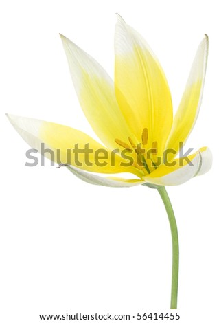Studio Shot of Yellow and White Colored Tulip Isolated on White Background. Large Depth of Field (DOF). - stock photo