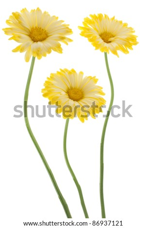 Studio Shot of  Yellow Colored Calendula Flowers Isolated on White Background. Large Depth of Field (DOF). Macro. Sacred Flower of Ancient India. - stock photo