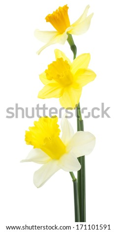 Studio Shot of  Yellow Colored Daffodil Flowers Isolated on White Background. Large Depth of Field (DOF). Macro.Symbol of Self-love and Respect. - stock photo