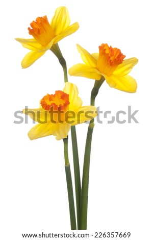 Studio Shot of Yellow Colored Daffodil Flowers Isolated on White Background. Large Depth of Field (DOF). Macro. Symbol of Self-love and Respect. - stock photo
