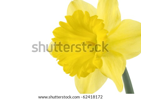 Studio Shot of Yellow Colored Daffodil Isolated on White Background. Large Depth of Field (DOF). Macro. Symbol of Self-love and Respect. - stock photo
