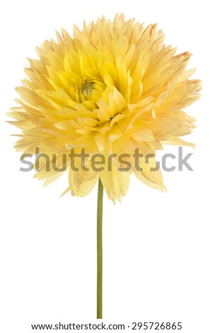 Studio Shot of Yellow Colored Dahlia Flower Isolated on White Background. Large Depth of Field (DOF). Macro. Symbol of Elegance, Dignity and Good Taste. - stock photo