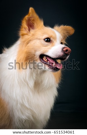 Studio shot of  Yellowand White Border Collie