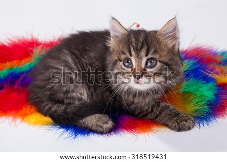 Studio shot of young grey kitten on colorful background - stock photo