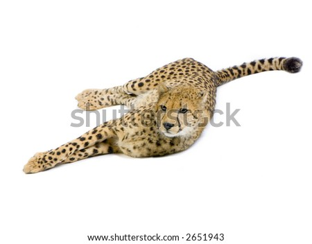 studio Shots of Cheetah  lying down in front on a white background. All my pictures are taken in a photo studio - stock photo