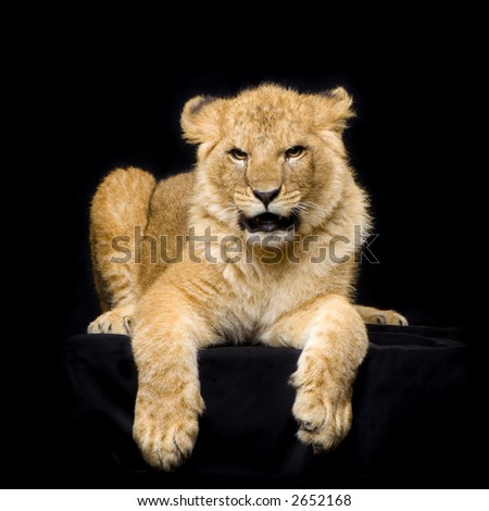 studio Shots of Lion Cub (seven months) lying down in front of a black background. All my pictures are taken in a photo studio. - stock photo