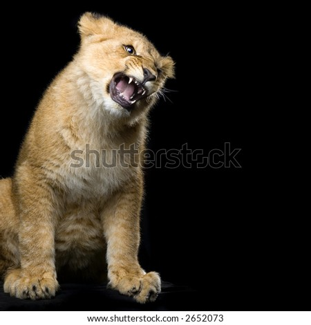 studio Shots of Lion Cub (seven months) sitting in front of a black background. All my pictures are taken in a photo studio. - stock photo