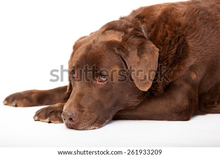 Studio shots of sleepy old chocolate labrador retriever - stock photo