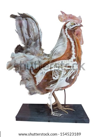 Stuffed cock with skeleton inside isolated over white background - stock photo
