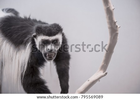 stuffed colobus polykomos