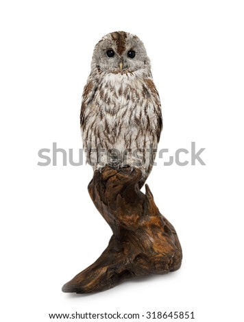 stuffed owl on a branch, isolated on white background