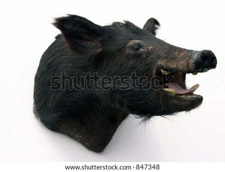 stuffed wild bore head on a white background