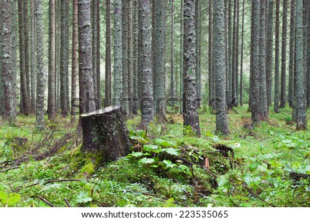 stump in the coniferous forest overgrown with grass - stock photo