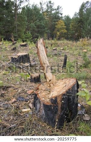 Stump of a freshly cut tree surrounded by saw dus. - stock photo
