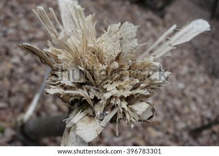 Stump of freshly cut tree in forest - stock photo