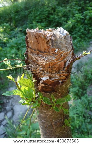 Stump of freshly cut tree in forest