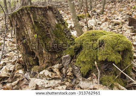 Stump with moss in a forest in autumn overcast day - stock photo