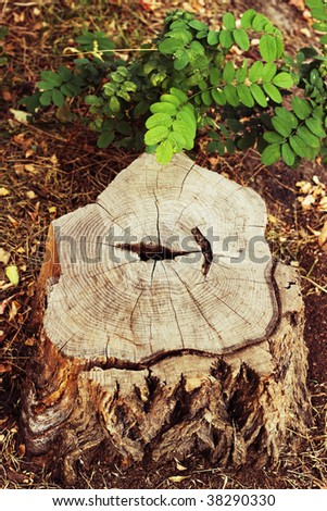 stump wood in the forest - stock photo