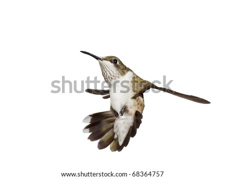 stunned hummingbird falls backwards with its tail fully opened, white background