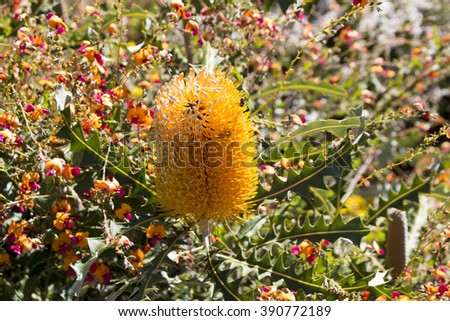 Stunning Banksia prionotes,acorn banksia or orange banksia,  a species of shrub or tree of the genus Banksia in the family Proteaceae blooming in King's Park , Perth, Western Australia in late winter. - stock photo