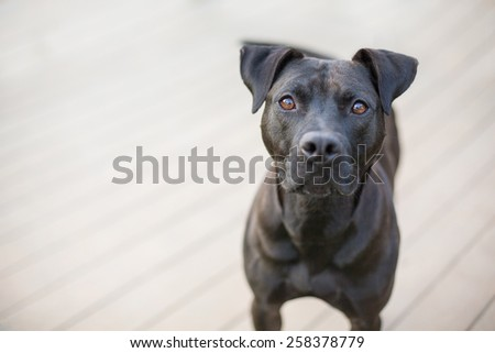 Stunning black dog stands on wooden deck - stock photo