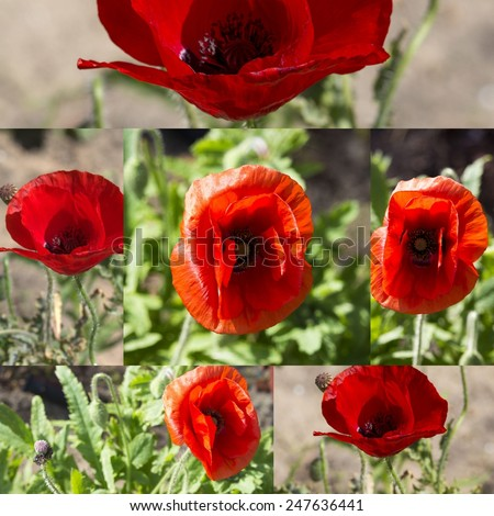 Stunning collage of  brilliant red Flander's Poppy  papaver rhoeas  contrasted against the black cross in the center being  a symbol of the First World War battles in Flander's fields. - stock photo
