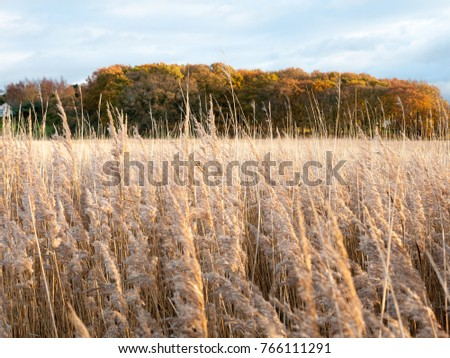 stunning golden reeds beautiful country empty space plans autumn bloom; essex; england; uk