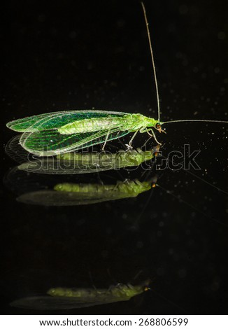 Stunning Green Lacewing Chrysoperia rufilabris On Triple Glass Reflection.  The black background highlights the beautiful colors and transparent insect wings. - stock photo