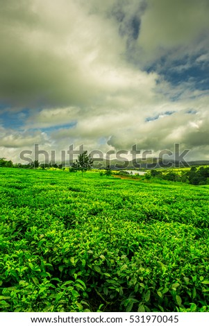 Stunning green landscape of a tea plantation in Malawi, Africa