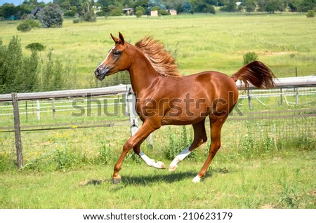 stunning horse, arab mare running or cantering in the green grassy fields - stock photo
