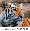 Stunning image of a young tiger - stock photo