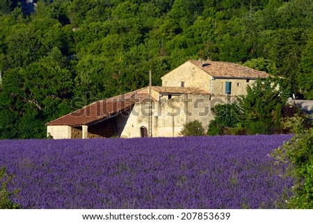 Stunning landscape with lavender field and old farmhouse at evening. Plateau of Sault, Provence, France  - stock photo