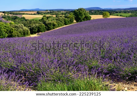 Stunning landscape with lavender field at evening. Plateau of Valensole, Provence, France