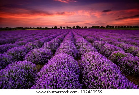 Stunning landscape with lavender field at sunset - stock photo