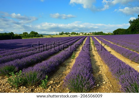 Stunning landscape with lavender field  at sunset.  Provence, France