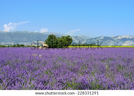 Stunning landscape with lavender field with old farmhouse. Plateau of Valensole, Provence, France - stock photo